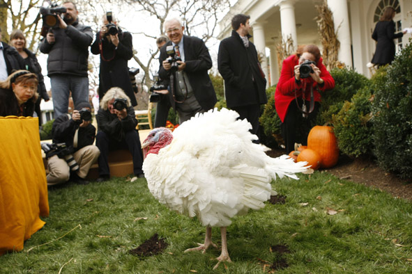 photographers snap pictures of Pumpkin the turkey prior to the Pardoning of the National Thanksgiving Turkey ceremony this year.