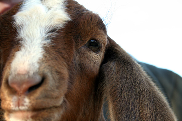 close up of brown goat