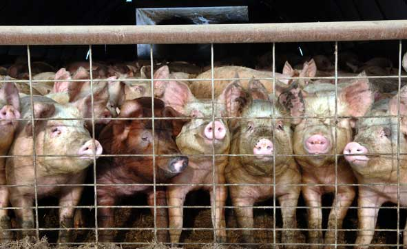 pigs staring out through wire fencing