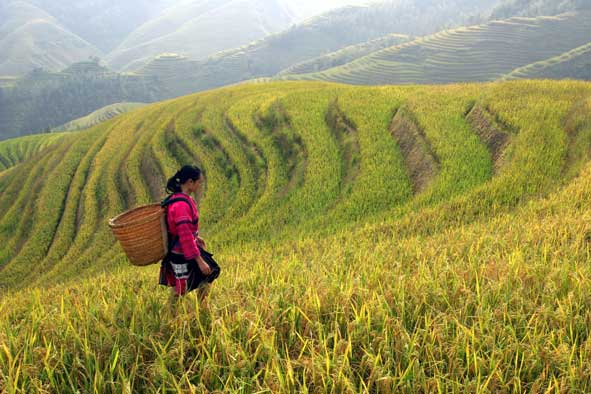rice harvest on hillsides in China