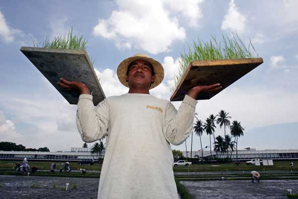 A farm laborer carries rice seedlings for planting at the experimental plots of the International Rice Research Institute