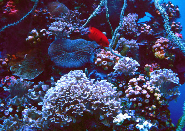 red fish in coral reef off Maui, Hawaii