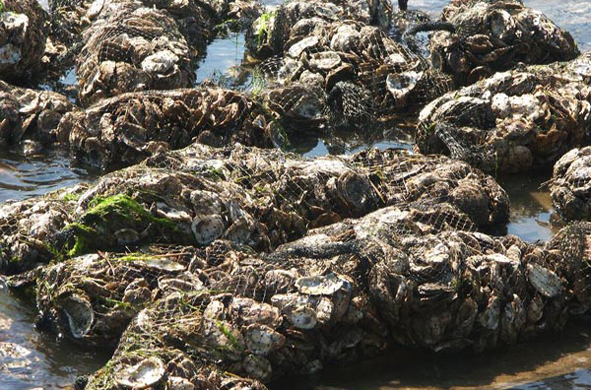 oysters covered by netting